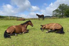 Liegende Pferde Koppel Reiterhof