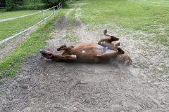 Pferd wälzt sich auf Koppel des Reiterhofs