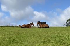 Pferde liegen auf Koppel Reiterhof