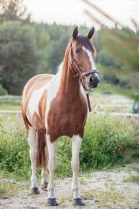 Pferd: Sternenfell