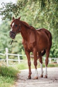 Pferd: Ulan