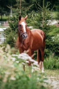 Pferd: Astarte